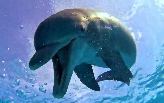 Un dauphin taquine un plongeur.