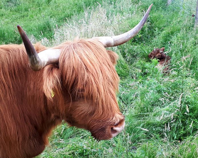 Hooglandertje in het hoge gras met de trotse moeder op de Roosendaalse Landerije.