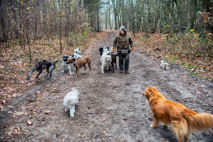 Anita Vankan van Dogz2Play laat een groep honden uit in de bossen tussen Dorst en Teteringen. Vanaf 1 januari gaan er strengere regels gelden voor hondenuitlaatservices.