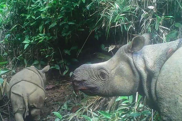 Les bébés rhinocéros ont été aperçus dans des vidéos filmées par une centaine de caméras dissimulées à travers le parc national Ujung Kulon.