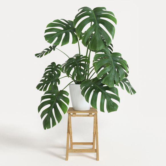 De gatenplant is een populaire kamerplant.