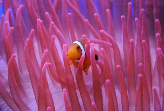 Een anemoonvis in het Oceanium.