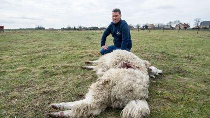 """Drie alpaca's doodgebeten door wolf in Peer: """"Wat is het volgende? Een veulen?"""""""