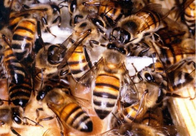 Een archiefbeeld van honingbijen.
