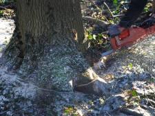 Middelburg: 1 boom kappen = 2 bomen planten