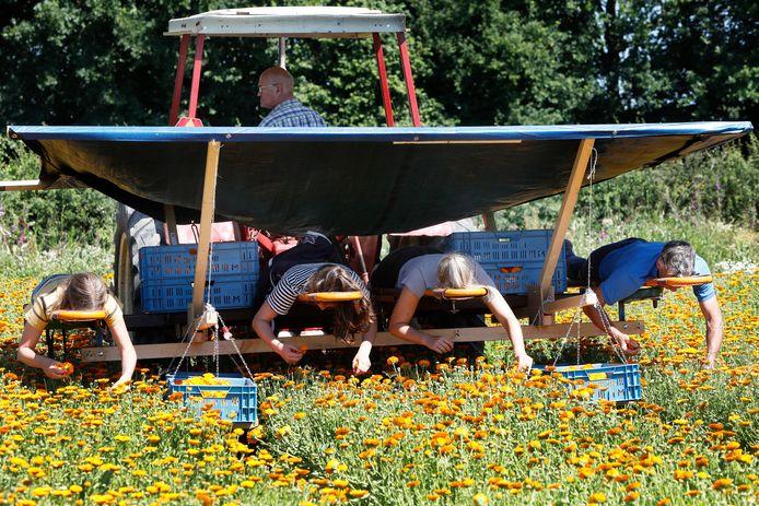 Het plukken van goudsbloemen is arbeidsintensief en dus duur.