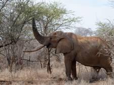 Olifant vertrappelt trofeeënjager voordat hij de trekker kan overhalen