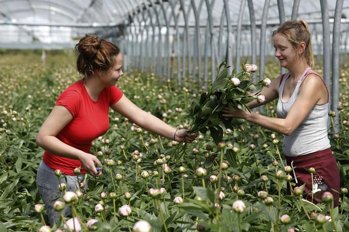 Arbeidsmigranten in de tuinbouw; foto ter illustratie.