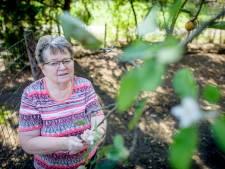 Half september: in  Eibergen staat appelboom volop in bloei