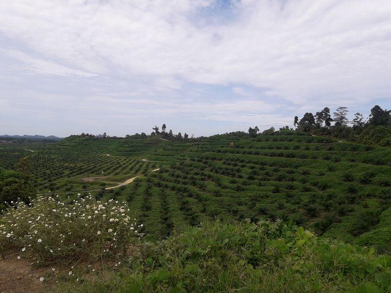 Jonge oliepalmaanplant op Sulawesi. Beeld Jacqueline Maris