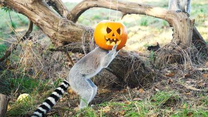 Gekke beelden: ringstaartmaki's vieren nu al Halloween... door hun kop in pompoen te steken