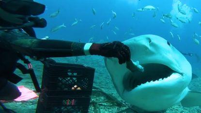 Dappere duiker voedert haai 'uit het vuistje'