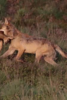 Wild plan: zet wolven uit op Veluwe als middel tegen schade door zwijnen en herten