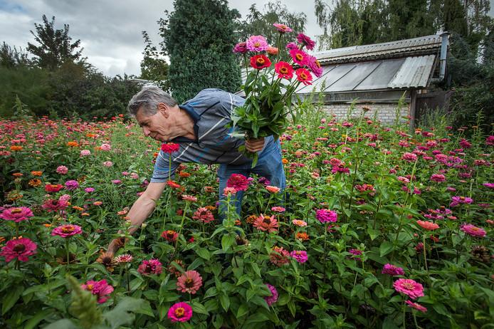 Tuinder André van der Zwaard plukt één van zijn laatste bosjes zinnia's. Hij stopt ermee (als derde generatie), woningen nemen de plaats van zijn tuinderij in.