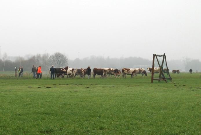 Koeien werden gered uit de stal bij de brand in Boxtel.