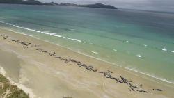 145 walvissen in één keer aangespoeld