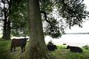 Geen bizons maar Galloways bij de Bisonbaai.