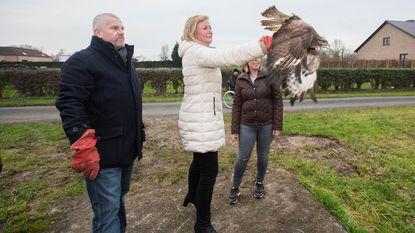Burgemeester laat buizerd vrij in de natuur na verbod op roofvogelshows