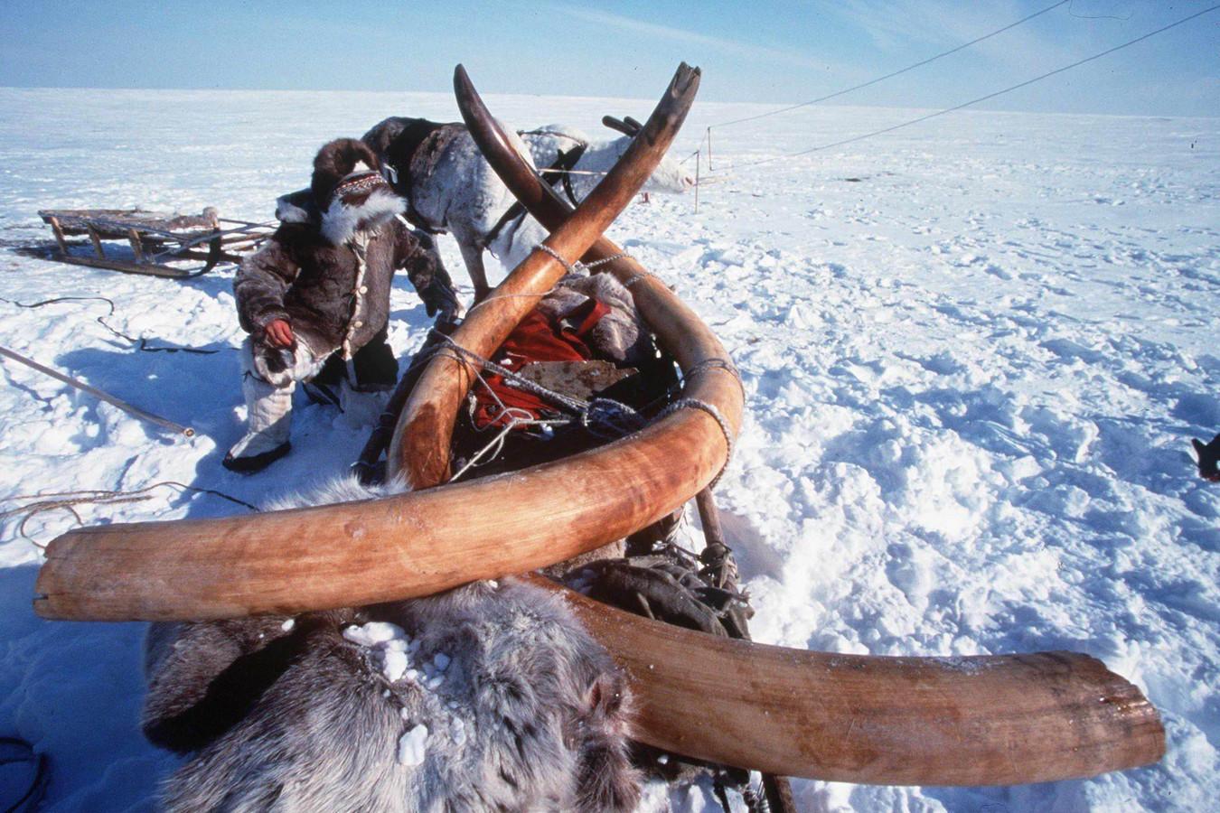 Slagtanden van een mammoet die is gevonden in Siberië