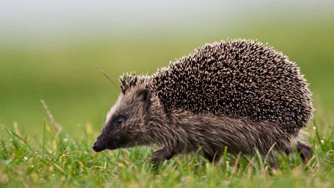 """Recordjaar voor VOC Neteland: """"5.000ste dier ter verzorging binnengebracht, niet toevallig een egel"""""""