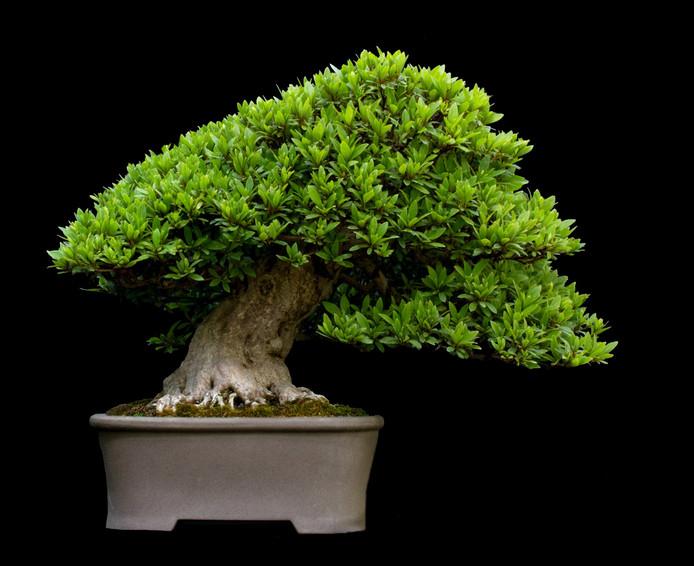 Bonsai Voor Binnen.Slachtoffers Van Diefstal 400 Jaar Oude Bonsai Zorg Er Alsjeblieft