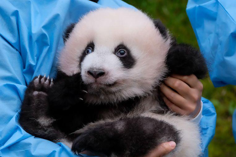De panda 'Bao Di' tijdens de ceremonie in het Pairi Daiza dierenpark. Beeld AFP