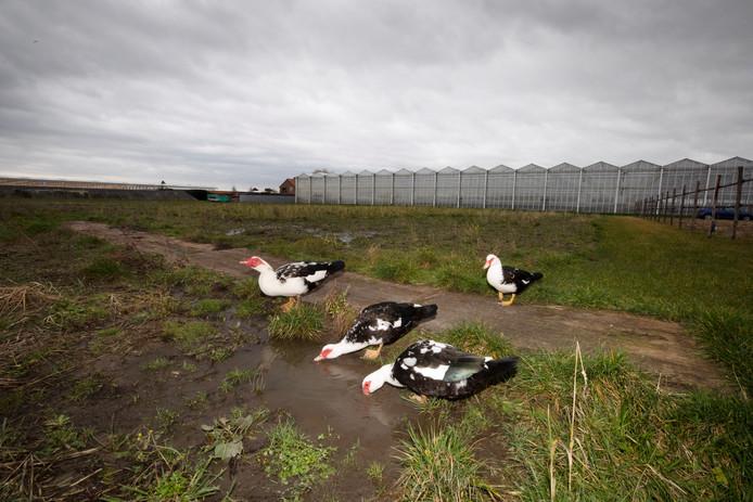Aan het einde van de Ewoudslaan in Honselersdijk moeten minimaal 36 arbeidsmigranten worden gehuisvest.
