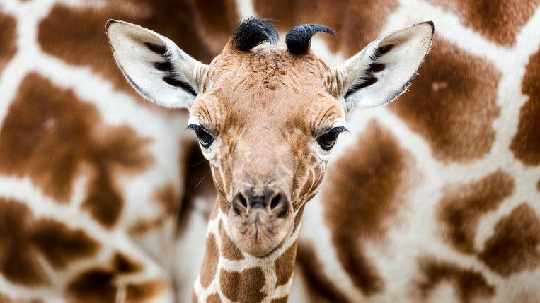 De pasgeboren giraffe. Beeld anp