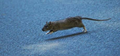 Last van ratten? Twente Milieu gaat de bestrijding anders aanpakken