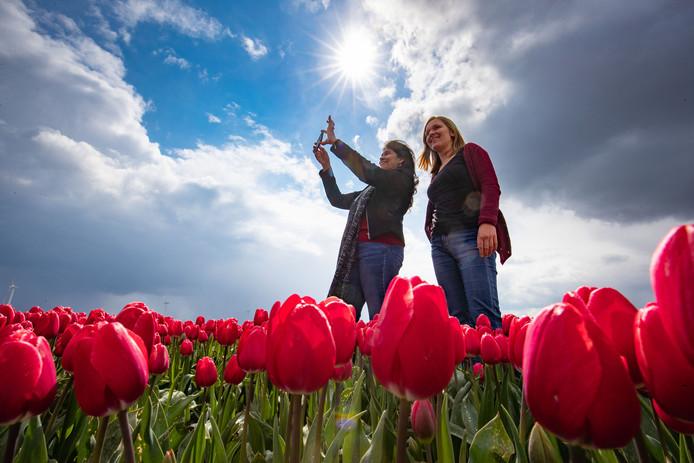 Het Tulpenseizoen is Flevoland is voorbij. Organisatoren van de tulpenroutes kijken terug op een recordjaar, waarin de bloemen al vroeg in bloei stonden.