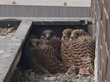 Warme puup'n en buuz'n op Yaraterrein  blijken fijne nestplaats voor torenvalken