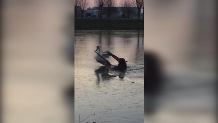 Zwaan in nood in Breda, duikers ingezet om het dier te redden