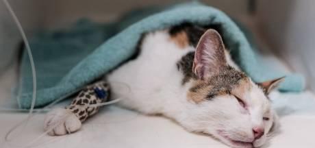 Opnieuw een kat vergiftigd in Zevenaar met muizengif: 'We dachten dat ze zou sterven'