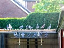 Unieke derde seizoenszege voor duivenmelker Buijze