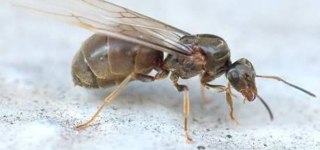 Overal vliegende mieren in de lucht, dit is waarom