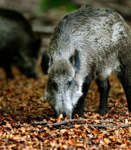 Jagers op Veluwe schieten te weinig zwijnen af: zorgt mislukt plan voor nieuwe overlastgolf?
