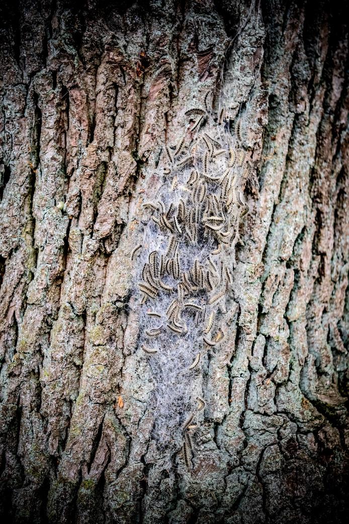 De eikenprocessierupsen wriemelen in vrijwel elke eikenboom in Rucphen.
