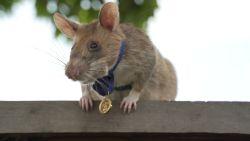 """""""Belgische"""" mijnensnuffelende rat 'Magawa' krijgt gouden medaille voor dierlijke dapperheid en moed"""