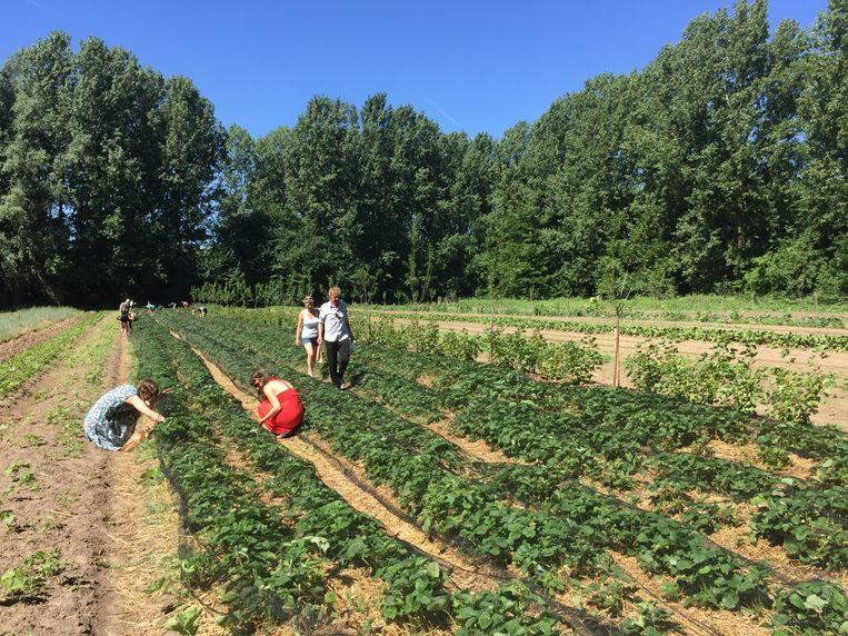 Leden van de zelfplukboerderij aan het oogsten.