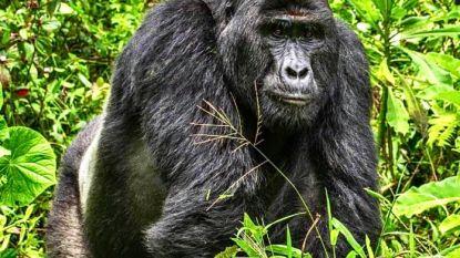 Populaire gorilla van 25 jaar met speer gedood in Oeganda: stropers riskeren levenslange celstraf