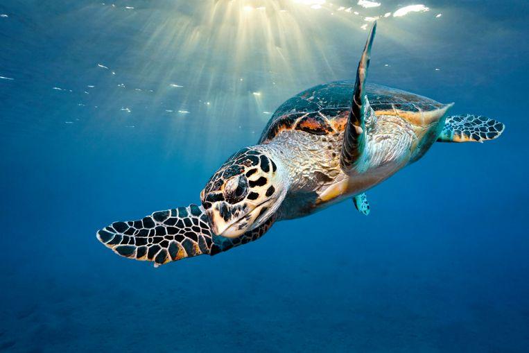 De dikkopschildpad. Beeld Getty Images