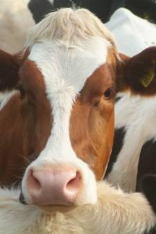 Raad van State: stikstofregeling veehouderij niet in orde