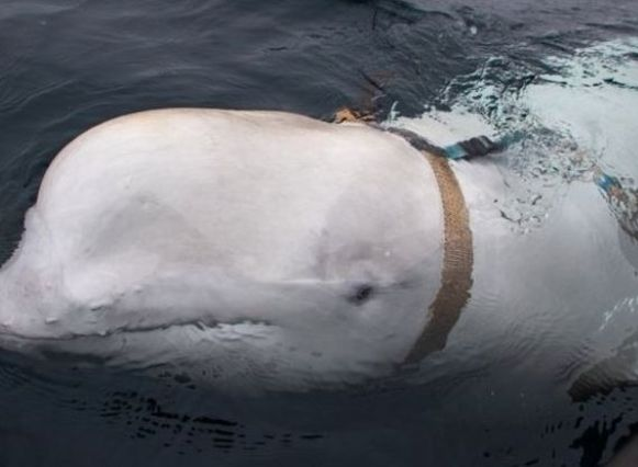 De witte dolfijn droeg een soort van harnas waarop de inscriptie 'Eigendom van Sint-Petersburg' stond.