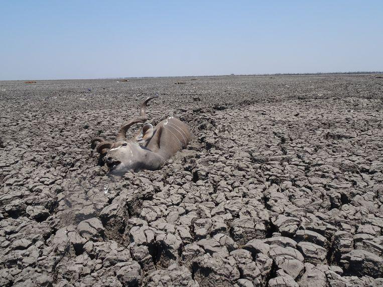 Een koedoe is in de modder gestorven in het meer van Ngami dat helemaal droog is komen staan.  Beeld Erik van Zwam