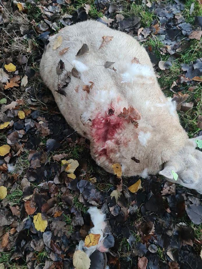 Dit schaap werd flink toegetakeld door een loslopende hond aan de Houtmaatweg in Hengelo
