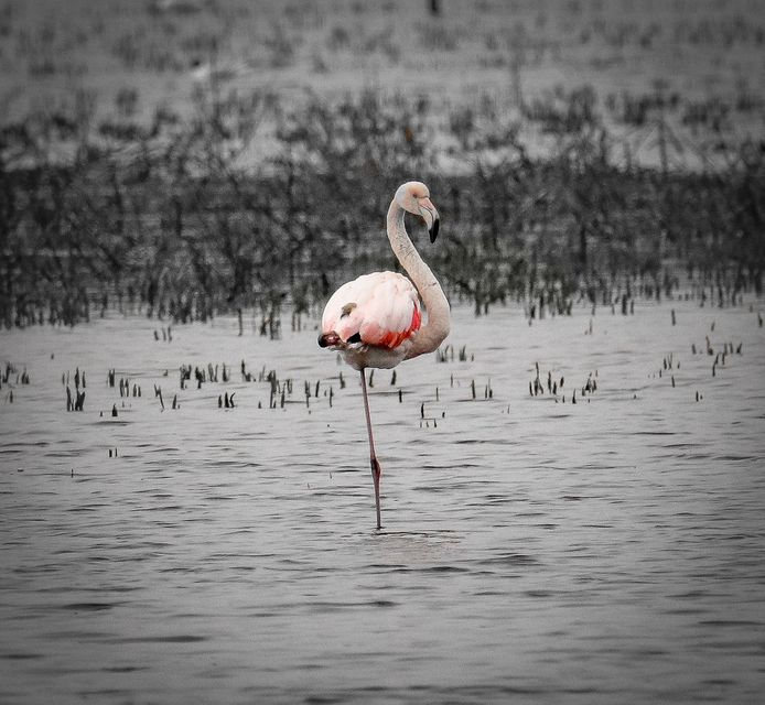 Flamingo in het Zwillbrocker Venn.