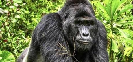 """Onze ans de prison pour le braconnier qui a tué le célèbre gorille """"Rafiki"""""""