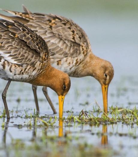 Nieuwe vogels-alert: Avifauna krijgt er een savanne bij