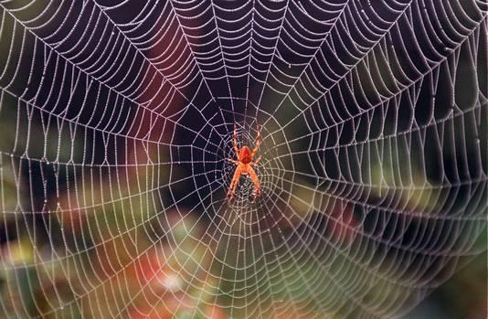 Een kruisspin in zijn spinnenweb.