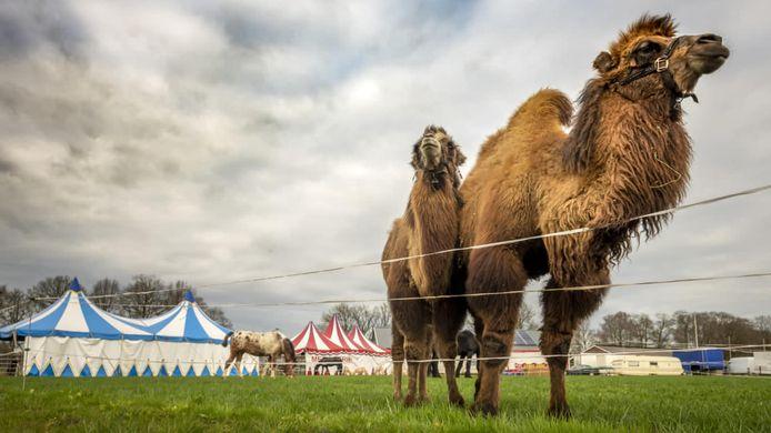 Kamelen Angeli en Maui grazen bij het Circus Bolalou.